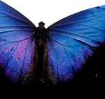 butterfly wing texture 2 by krash